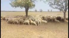 Ukraynada 2000 bin tane Merinos koyun satılık