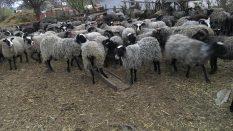 Ukrayna'da romanov koyunlar  fiyatları romanov koyunu nasıl Türkiyeye götureblirim