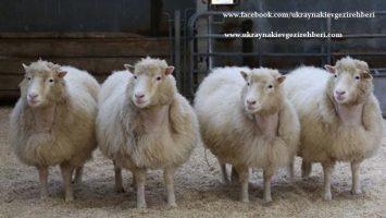 -Ukraynalı bilimadamları geliştirdi, 120 kg ulaşan koyunlar-